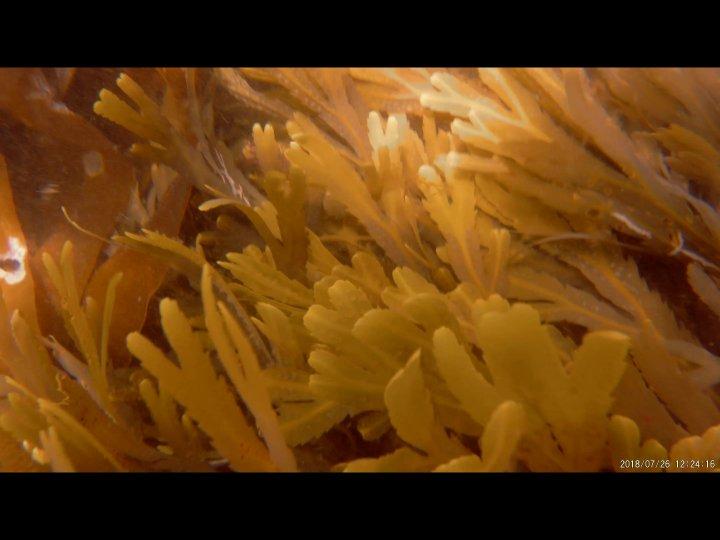seaweed at Wembury